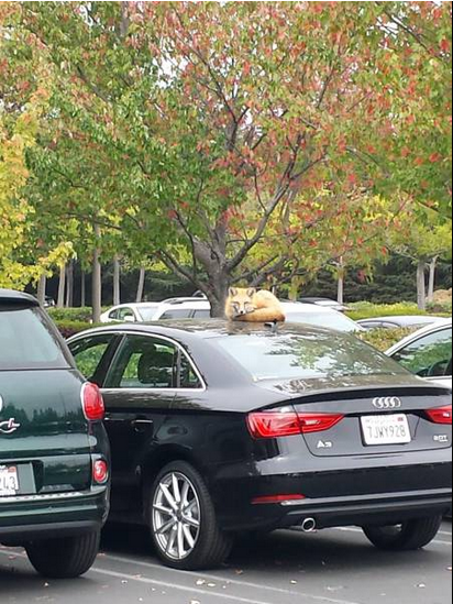 fox on car