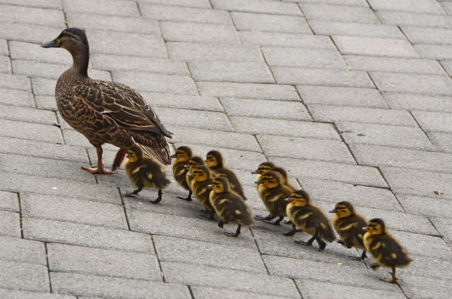 baby-ducks-following-mother_8